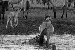 Wild Horses in black-and-white - Bathing - 2016-009_Web (berni.radke) Tags: horse pony bathing herd nordrheinwestfalen colt wildhorses foal fohlen croy herde dlmen feralhorses wildpferdebahn merfelderbruch merfeld przewalskipferd wildpferde dlmenerwildpferd equusferus dlmenerpferd dlmenpony herzogvoncroy wildhorsetrack