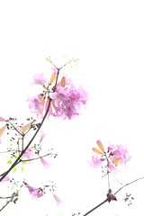 IMG_8814 -  Kwai Fong (Mak_Ho) Tags: flower canon photography hongkong vegetation    newterritories    kwaifong  tabebuiarosea 700d    kwaifongestate  kwaionhouse