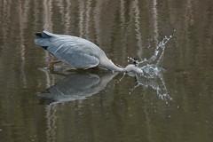 Double strike (Andrew_Leggett) Tags: trees reflection green bird water reflections fishing feeding outdoor ardeacinerea strike splash greyheron andrewleggett