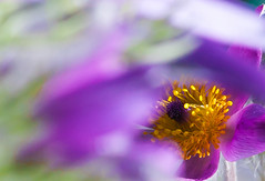 Gold in royal purple (Steve-h) Tags: park camera city pink flowers ireland dublin orange abstract green nature floral yellow canon lens eos gold daylight petals spring flora europa europe downtown day colours purple zoom blossoms eu natura seeds telephoto stems april ef citycentre stalks ststephensgreen pulsatilla 2016 steveh planys ef100400mm