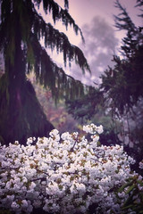 Misty Morning with Cherry Blossoms (Colormaniac too) Tags: morning white mist tree misty cherry dawn washington spring state pacific northwest blossom sequim bloom olympic peninsula mtfuji daybreak