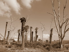 Lisbon (Chris Draper) Tags: portugal lisbon palm palmtree deadtrees deadpalmtree