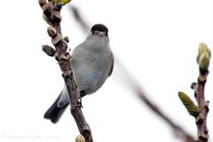 Black cap (riggy-riggo) Tags: bird nature garden kent spring wildlife sigma blackcap 150500mm canon5dmarkll deborahrigden riggyriggo debbierigden