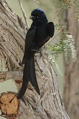Black Drongo @ Mushrif Park, Dubai, UAE (Ma3eN) Tags: park black dubai uae 2016 drongo mushrif