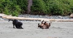 China Beach-3469 (mariskar) Tags: dog canada beach dogs nature beauty vancouverisland labs pacificnorthwest labradorretriever chinabeach westcoast pnw islandlife islandliving explorebcexplorecanada westcoastbeastcoast beastiebuddies