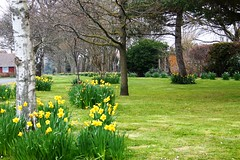 More of the Daffodils in Oakley Gardens (tiger289 (The d'Arcy dog supporters club)) Tags: park flowers trees sea plant tree cars beach dogs architecture garden landscape woods heraldry waves estate westsussex fairground outdoor clocktower greenbelt boules plaques eastpreston clockhouse villagelife villagegreen breakwaters sealane villagefestival searoad penangvillagerestaurant
