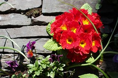 Amb62 (rreyn92) Tags: flowers shadow red lake colour green nature beautiful yellow rock wall idea spring natural bright vibrant decorative district sunny fresh pottedplant shade colourful ambleside clever