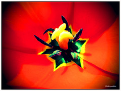 Colorful Tulip painting (Stephenie DeKouadio) Tags: plant flower color colour macro art beautiful beauty canon painting photography spring colorful image artistic tulip imagery macrophotography