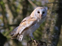 BARN OWL IN REPOSE (gazza294) Tags: flickr flicker flckr flkr garymargetts gazza294