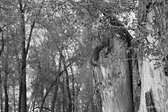 Squirrel (Scott Martin Calgary) Tags: trees canada calgary animal blackwhite squirrel alberta bowriver fujifilmxe2