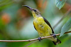Purple-rumped Sunbird (ahmedezaz76) Tags: wild portrait bird beauty animal natural outdoor sunbird purplerumped