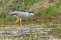 Black-crowned night heron (Nycticorax nycticorax) hunting frogs (rangerbatt) Tags:
