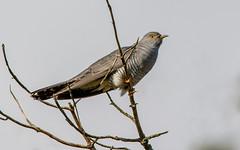 JWL2480   Cuckoo.... (jefflack Wildlife&Nature) Tags: nature birds countryside woodlands wildlife ngc npc cuckoo avian wildbirds cuckoos