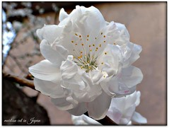 """Lovely white peach blossoms give us beautiful memories."" (martian cat) Tags: japan yokohama japanesepeachblossoms martiancatinjapan allrightsreserved flower nature treeblossoms allrightsreserved martiancatinjapan martiancatinjapan martiancatinjapan diamondclassphotographer flickrdiamond allrightsreserved allrightsreserved"