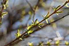 Reaching for Spring (MomOfJasAndTam) Tags: lighting light sky plants plant tree nature spring branch dof blossom branches depthoffield explore buds explored branchlet