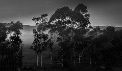 untitled (ChrisRSouthland (mostly off)) Tags: trees newzealand blackandwhite mist nature landscape mysterious elmarit28mmf28 mmonochrom