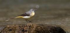 Motacilla flava iberiae (Glenn van Windt) Tags: bird nature natuur aves vogel motacillaflavaiberiae iberianyellowwagtail canonef300mmf28lisusm iberischegelekwikstaart