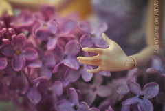 Flower fingers (2) (lucylacri) Tags: white flower apple violet lilac tender