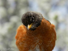 Do you think I'm adorable? (NaturewithMar) Tags: bird robin american