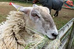 Horse Pony and Sheep Oakham Rutland Photographs (@oakhamuk) Tags: horse countryside sheep farm pony photographs rutland oakham martinbrookes