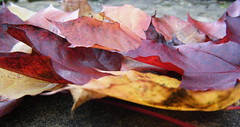 red maple leaves in autumn (:: attend ::) Tags: autumn red england orange brown plant tree fall nature leaves yellow garden gold golden leaf maple pattern display outdoor maroon depthoffield foliage collection acer ochre arrangement russet