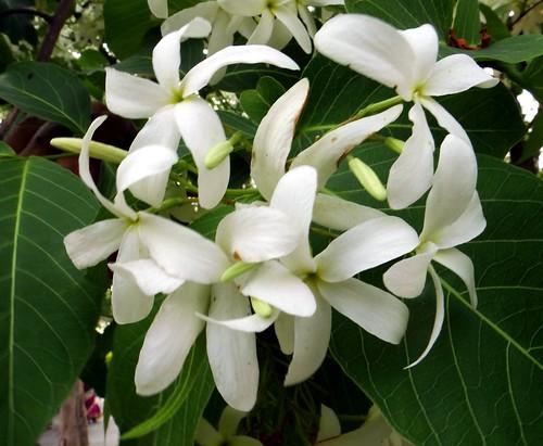 EASTER TREE / (Sanskrit = KUTAJA ; Bangla = কুর্চি ফুল)