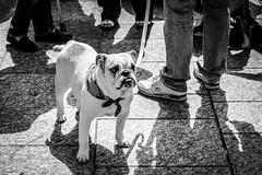 Bulldog! (e600-Stu) Tags: fuji 1855mm xf f284 xpro1