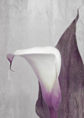 calla sanguin lily (Hal Halli) Tags: flower lily wallart homedecor