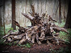 A beautiful and exciting root in the forest (Geir Bakken) Tags: nature beautiful forest cool nice interesting olympus root omd niceview m43 yabbadabbadoo em5 mitakon25mmf095
