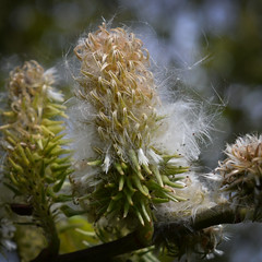 Fluffy Catkins (sianmatthews25) Tags: willow nottinghamshire salix caprea