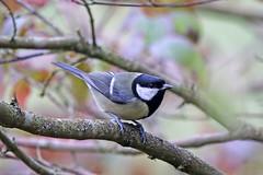 Great Tit (Alan Gutsell) Tags: uk nature birds alan europe tit wildlife great birding titmouse greattit