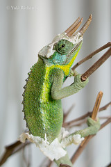 Molting Chameleon (yukirichards) Tags: africa travel white green animals garden nikon colorful dinosaur skin kenya reptile colourful peel molt twigs chameleon reptiles moulting kikuyu molting eastafrica jacksonschameleon d610 ecdysis threehornedchameleon exuviation nikond610