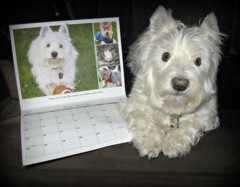 "1/12A ~ ""Riley made the calendar again"" (ellenc995) Tags: riley westie westhighlandwhiteterrier calendar westiesinneed 12monthsfordogs16 rubyphotographer 2016 coth coth5 supershot abigfave challengeclub akob fantasticnature alittlebeauty pet100 pet500 thesunshinegroup pet1000 pet1500 pet2000 thegalaxy 100commentgroup"