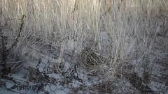 Short-eared Owl (Asio flammeus) - Three part video:  in the dunes, running, chilling (Steve Arena) Tags: bird movie video massachusetts chatham raptor owl birdofprey nauset seow 2016 shortearedowl asioflammeus barnstablecounty northchatham nausetbeachsouth
