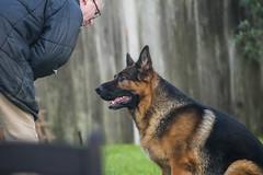 Dog Garden7 (FurtiveOutsider) Tags: dog pet dogs beautiful garden fun shepherd german alsatian alsation gsd
