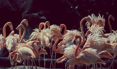 flamencos (mamonto_70) Tags: animals zoo colombia flamingos animales medellin flamencos antioquia suramerica 2016 zoologico nikond90 areametropolitana valledeaburra