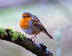 Robin 18 1 2016 3 (Rattyman76) Tags: robin sony leightonmoss a7rii