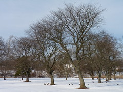 Snowy grove (Dendroica cerulea) Tags: trees winter snow tree newjersey grove nj highlandpark fav10 middlesexcounty donaldsonpark