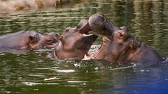 Hippos (Esteban Classen) Tags: hippo hipopotamo