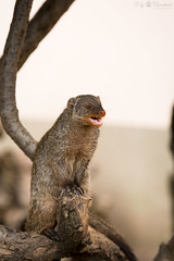 Mongoose (Cloudtail) Tags: animal mammal zoo tier mongoose mungo banded landau zebramanguste manguste sugetier