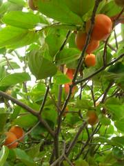 starr-060916-8879-Diospyros_kaki-fruit-Kula-Maui (Starr Environmental) Tags: diospyroskaki