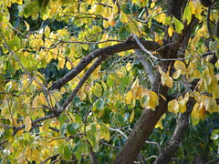 starr-061225-2924-Diospyros_kaki-fall_colors_branches_and_leaves-Olinda-Maui (Starr Environmental) Tags: diospyroskaki