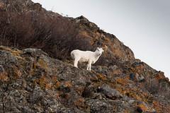 DC0_6964 (Eisbier) Tags: winter mountain animal alaska mammal nikon sheep sigma d750 grazing dall sewardhighway 150500