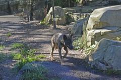 2015.09.28.114 PARIS - Zoo de Vincennes  - Europe - Loup ibrique (alainmichot93 (Bonjour  tous)) Tags: paris france seine ledefrance combat animaux boisdevincennes 2015 zoodevincennes parczoologiquedeparis paris12mearrondissement loupibrique maledominant
