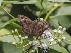 Tagiades japetus atticus , Common Snow Flat (Green Baron Pro) Tags: butterfly malaysia smokehouse frasershill hirez hesperiidae pyrginae 201512
