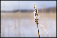 A Random Reed Top (Mika Latokartano) Tags: winter snow reed finland a6000