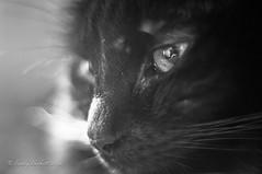 Early Morning (brady tuckett) Tags: light blackandwhite pets white black macro animals cat garden 50mm bokeh m42 f2 macros brady manualfocus petri tuckett cateye manuallens m42mount m42lenses orikkor bradytuckett petriorikkorkuribayashi50mmf2 petriorikkorkuribayashi