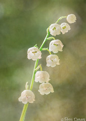 """""""Lily of the Valley"""" by Patti Deters (Patti Deters) Tags: flowers white plant flower macro green texture nature floral beautiful vertical closeup botanical whiteflower spring stem flora perfume little bell blossom background small valley lilly fragrant bloom botanic botany wildflower aromatic isolated mayflower perennial aroma lilyofthevalley rhizome liliaceae convallaria majalis laddertoheaven pattideters"""