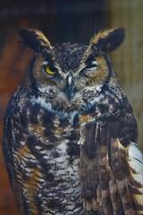Hope for Wildlife Society (andre_blan) Tags: nova hope for wildlife great owl scotia horned