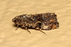 Lepidoptera (Moth sp.) - South Africa 2 (Nick Dean1) Tags: insect southafrica insects lepidoptera noctuidae arthropods arthropoda krugernationalpark arthropod hexapod insecta lowersabie hexapods hexapoda acontia